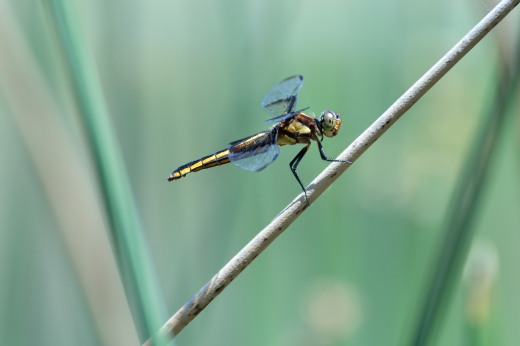 Female Widow Skimmer (Libellula luctuosa)