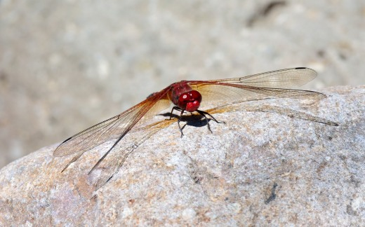 Red Rock Skimmer (Paltothemis lineatipis)