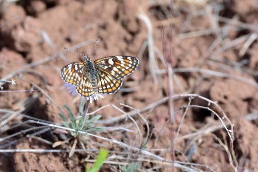 Fulvia Checkerspot (Chlosyne fulvia)