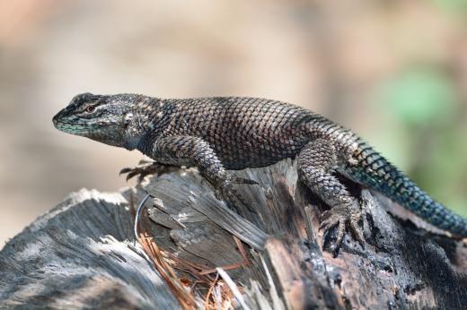 Clark's Spiny Lizard (Scelopous clarkii)