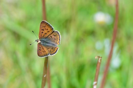 Purplish Copper (Lycaena helloides) - male