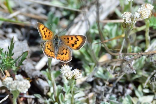 Purplish Copper (Lycaena helloides) - female