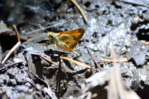 Taxiles Skipper (Poanes taxiles) - male