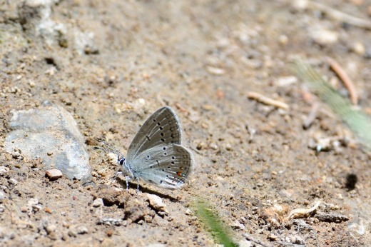 Western Tailed-Blue (Cupido amyntula)