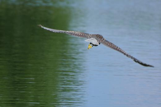 Black-crowned Night-Heron (immature)