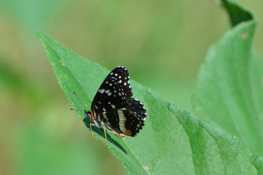 Bordered Patch (Chlosyne lacinia)