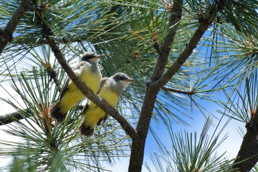 Cassin's Kingbird (immature)