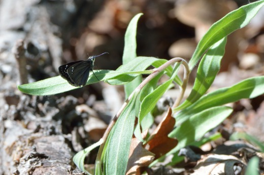 Mexican Sootywing (Pholisora mejicanus)