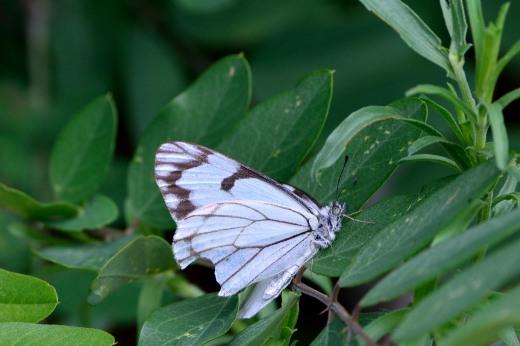 Pine White (Neophasia menapia)