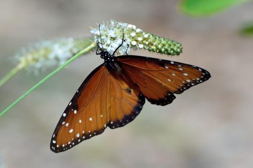 Queen (Danaus gilippus)