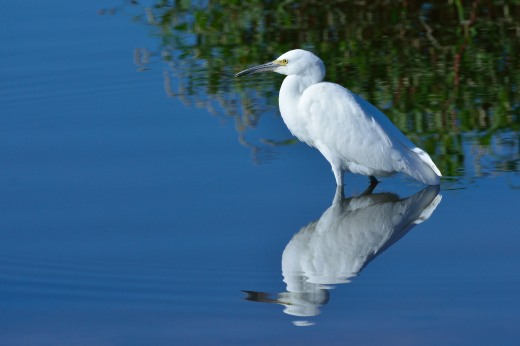 Juvenile Snowy Egret