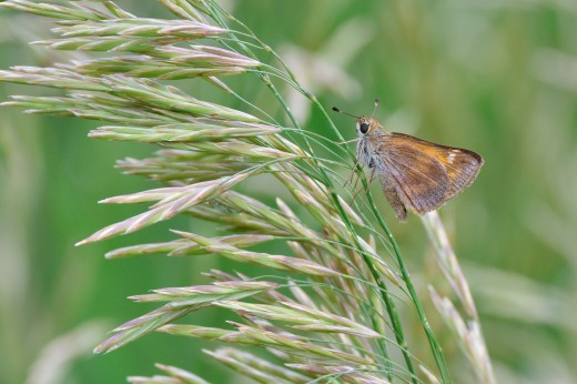 Female Taxiles Skipper (Poanes taxiles)
