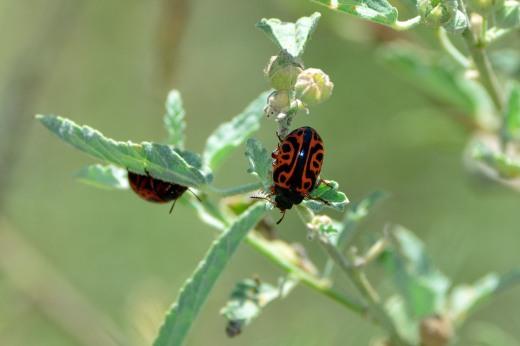Globemallow Leaf Beetle (Calligrapha serpentina)