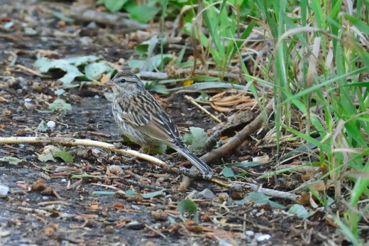 Chipping Sparrow (immature)