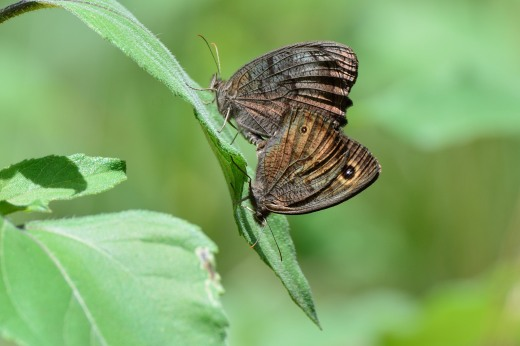 Common Wood-Nymph (Cercyonis pegala)