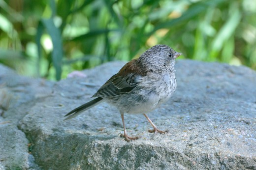 Dark-eyed Junco (immature)