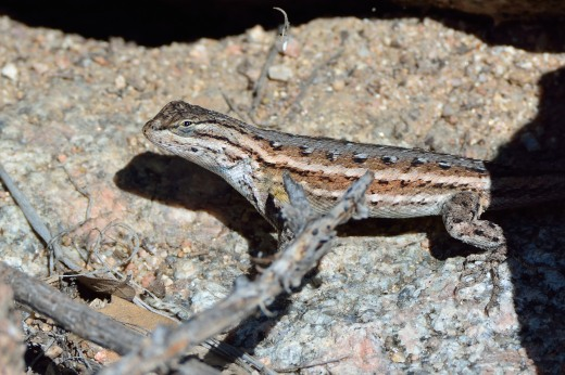 Plateau Fence Lizard (Sceloporus tristichus)