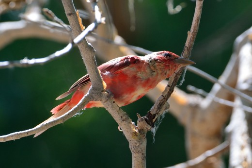 Summer Tanager (immature)