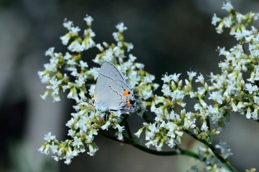 Gray Hairstreak (Styrmon melinus)