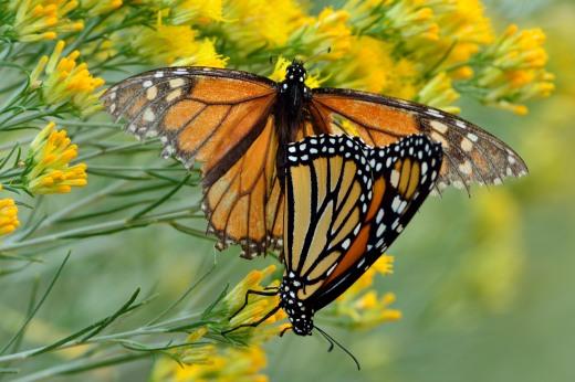 Mating Monarchs (Danaus plexippus)