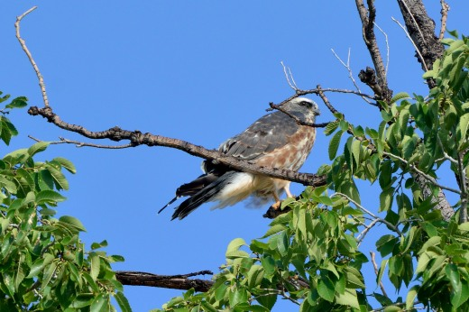 Juvenile Mississippi Kite