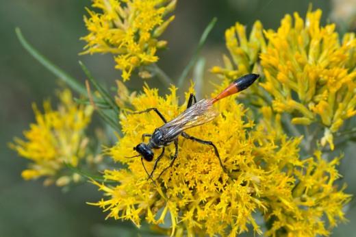 Thread-waisted Wasp (Ammophila sp.)