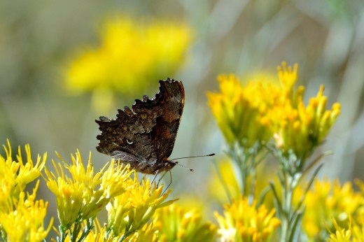 Hoary Comma (Polygonia gracilis)