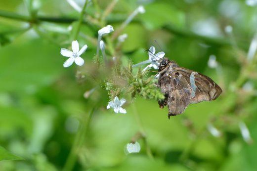 Falcate Skipper (Spathilepia clonius)