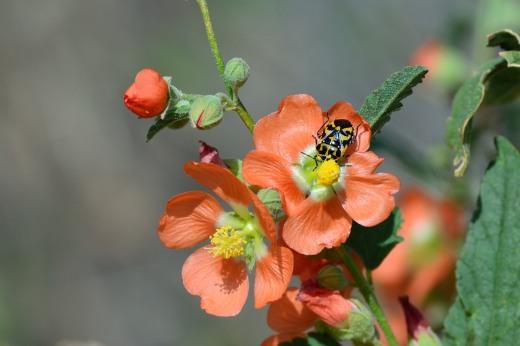 Harlequin Bug (Murgantia histrionica)