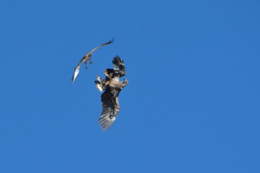 Red-tailed Hawk and Bald Eagle
