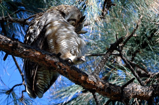 Great Horned Owl - AA