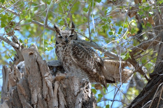 Great Horned Owl - Calabacillas