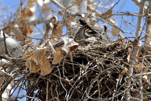 Great Horned Owl - Piedras Marcadas