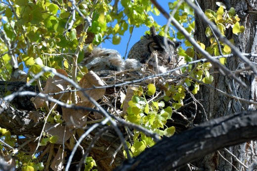 Great Horned Owl - Willow Creek