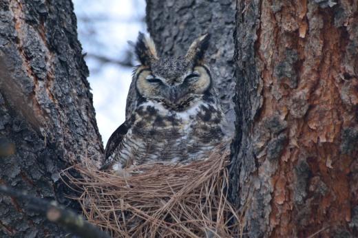 Great Horned Owl - Albuquerque Academy