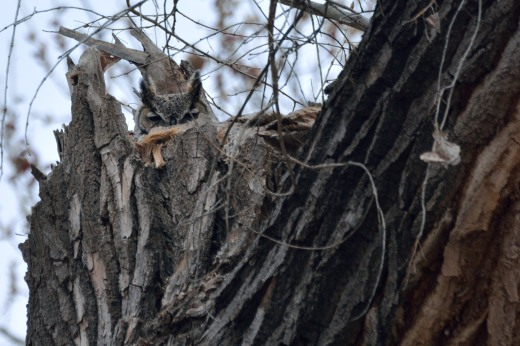 Great Horned Owl - Calabacillas Arroyo