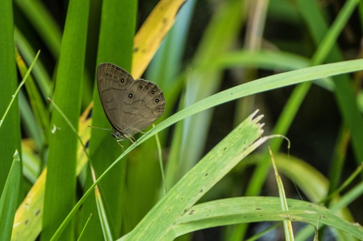 Appalachian Brown (Satyrodes appalachia)