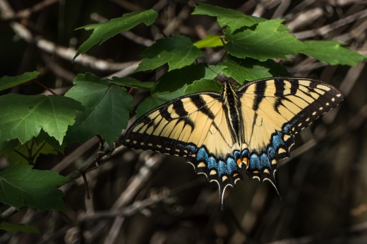 Eastern Tiger Swallowtail (Papilio glaucus) - female