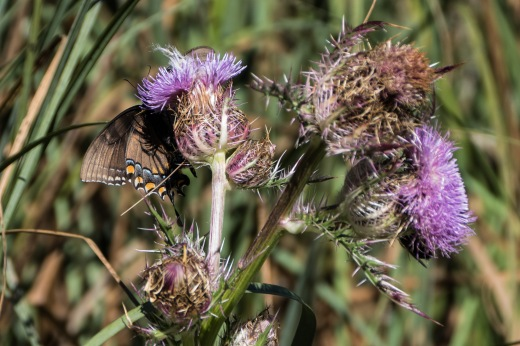 Eastern Tiger Swallowtail (Papilio glaucus) - dark female