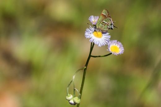 """Sweadner's"" Juniper Hairstreak (Callophrys gryneus sweadneri)"