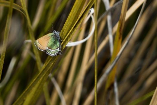 Sandia Hairstreak (Callophrys mcfarlandi)