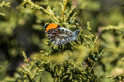 Southwestern Orangetip (Anthocharis thoosa sara) - male
