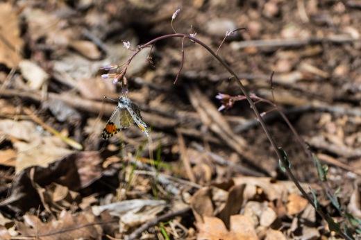 Southwestern Orangetip (Anthocharis thoosa sara) - female