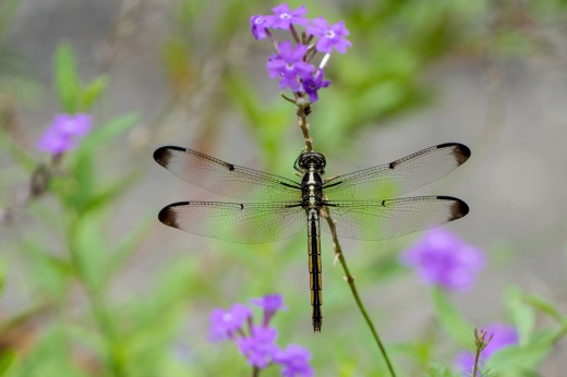 Bar-winged Skimmer (Libellula axilena)