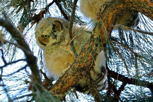 Great Horned Owl - Albuquerque Academy