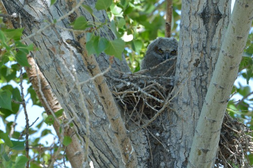 Great Horned Owl - Montano