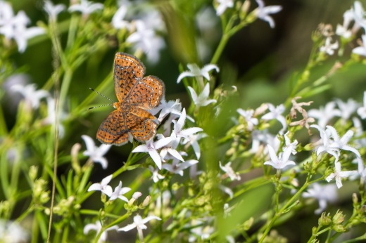 Little Metalmark (Calephelis virginiensis)