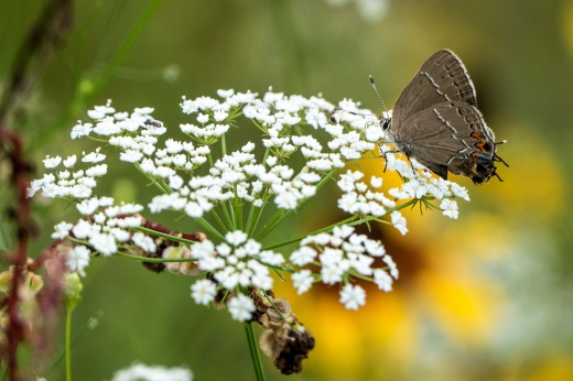 Northern Oak Hairstreak (Satyrium favonius ontario)