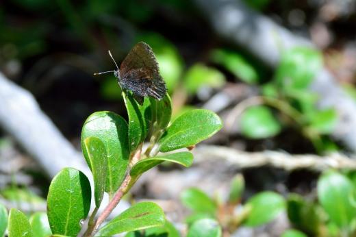 Hoary Elfin (Callophrys polios)