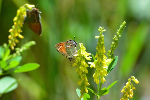 Juniper Hairstreak (Callophrys gryneus)